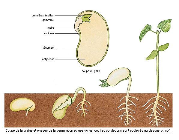 Semer des haricots