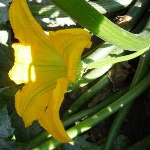 Fleur mâle et fleur femelle de la courgette