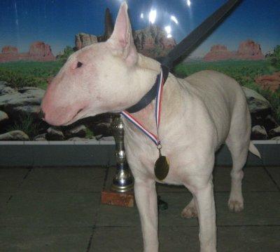 bull terrier59
