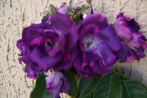 Les roses apres la pluie