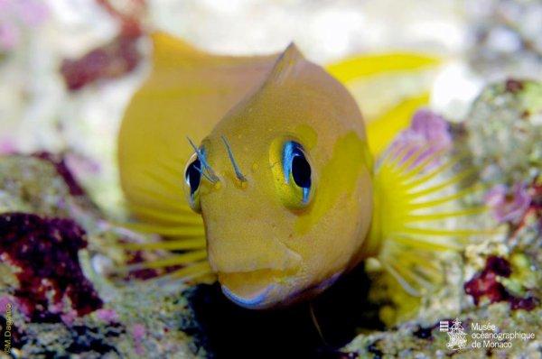 Ecsenius midas - Généralement jaune orangé, il peut adapter sa couleur par mimétisme, pour la faire correspondre à celle des poissons avec lesquels il se mélange !