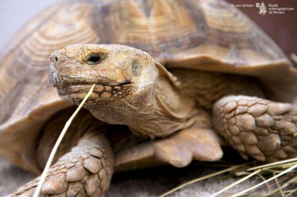 Profitez des animations autour de l'ile aux tortues avec nos animateurs est découvrez qui se cache derrière la troisième plus grande tortue au monde ! Un animateur vous dévoilera toutes les particularités des tortues sillonnées, qui ont traversées les siècles et sont aujourd'hui menacées par nos modes de vie. A découvrir tous les jours de 10h à 11h30 sur la terrasse panoramique du Musée. – avec Emilija Emi Drakulevska.