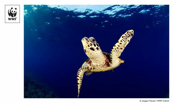 Ainsi que les défis naturels de la vie comme une jeune tortue caouanne comme éviter les grands prédateurs, cette tortue caouanne peu seront confrontés à un certain nombre d'autres fabriqués par l'homme des menaces telles que la perte d'habitat pour le développement côtier, la pollution, et accidentellement ramassés comme prises accessoires par les navires de pêche commerciale.  La solution à donner tortues caouanne et autres espèces marines est une chance pour augmenter les aires marines protégées en Méditerranée.