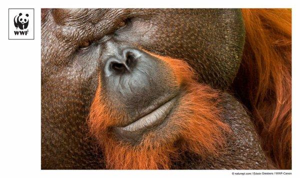 Mâle dominant Orang outan (Pongo pygmaeus), Sarawak, à Bornéo, en Malaisie.