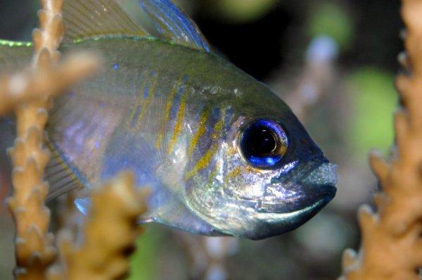 Observez l'Apogon à rayures bleues (Apogon leptacanthus) dont sa reproduction passe par une période d'incubation buccale...