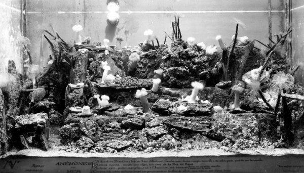 """Un """"paysage sous-marin""""  A partir de 1925, l'aménagement de certains bassins de l'Aquarium vise à restituer les conditions du milieu naturel. Ce """"paysage"""" est peuplé d'anémones de mer et de spirographes."""