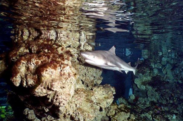 Les collections vivantes du Musée s'enrichissent de 5 bébés squales. Plus un grand d'1m50.  Ces requins pointes-noires viennent s'ajouter aux espèces déjà présentes au Musée. Les requins font partie des grands prédateurs marins. Aujourd'hui, leurs effectifs se sont raréfiés de manière considérable. Au travers de cette démarche l'Institut sensibilise, initie et communique aux publics les dangers qui menacent les requins