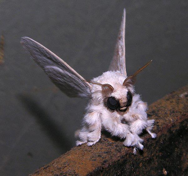 """Voici un étrange papillon de nuit qui vit dans les forets du Venezuela, il s'appelle """"Poodle moth"""" (qui signifie le """"papillon caniche""""), une créature unique et rare!  La nature est tellement diversifiée ♥"""