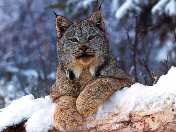 Superbe lynx ! Honte à tous ceux et celles qui portent des doudounes en col de fourrure.... et qui cautionnent et financent l'extinction de ces félins !