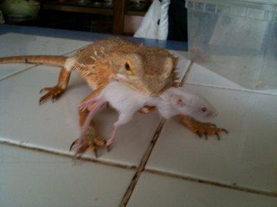 femelle pogona mange une souris blog de reptile62200. Black Bedroom Furniture Sets. Home Design Ideas