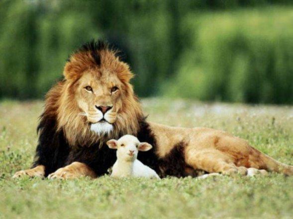 le roi lion et l'agneau