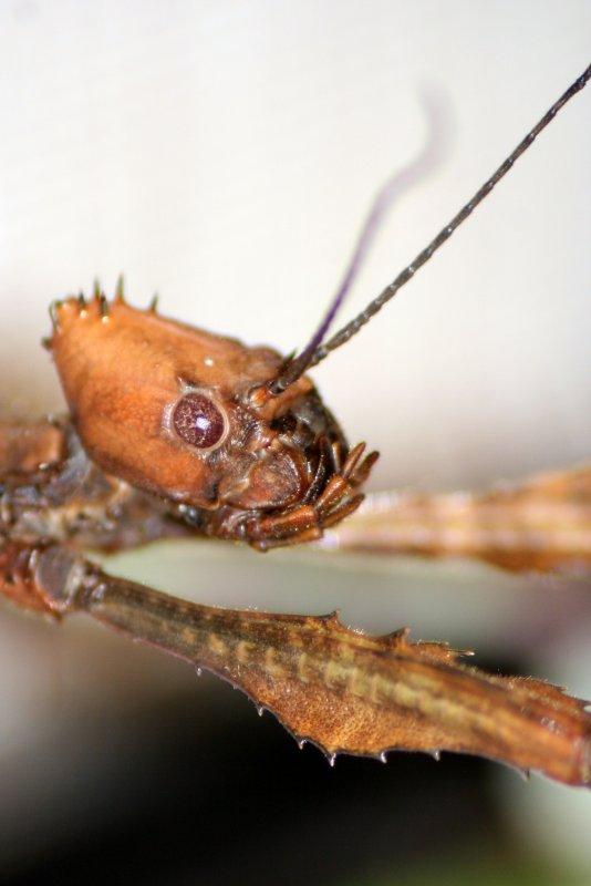 Phasmes scorpions