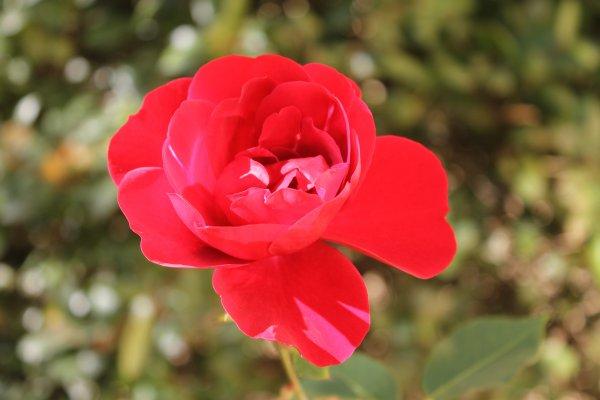 Des roses en hivers