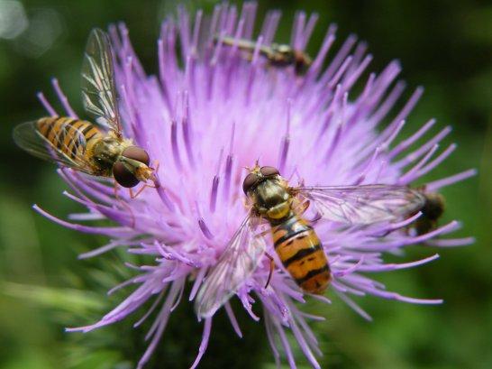 centaurée insecte