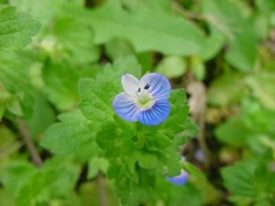 Petites fleurs bleues sauvages