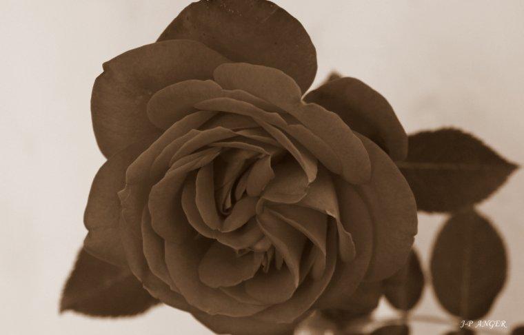 Variations sur une rose