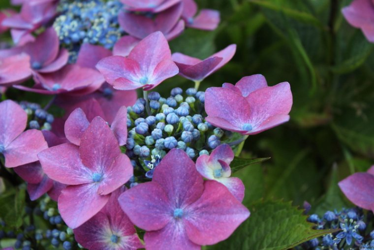 Fleur emblématique de Bretagne