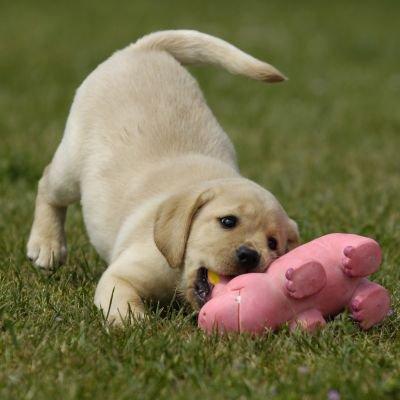 chiots labrador beige - Blog de x-lamiss-x0795