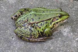 Photo noir et white en parlant de grenouille ;) tu m'as donné une idée d'article les grenouilles j'adore elles sont mal aimées des gens et sont inoffensives en tout cas les grenouilles rousses et rainettes vertes des campagnes elles sont pourtant mignonnes
