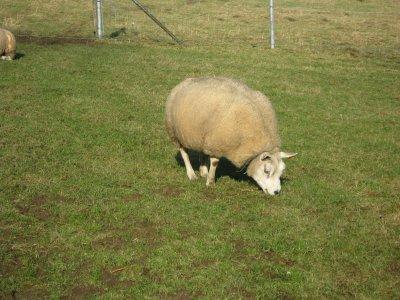 Einige meiner Schafe/ mes brebis