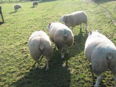 Meine Herde/ Mon troupeau