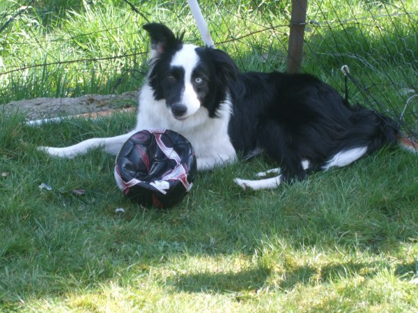 border collie a donner