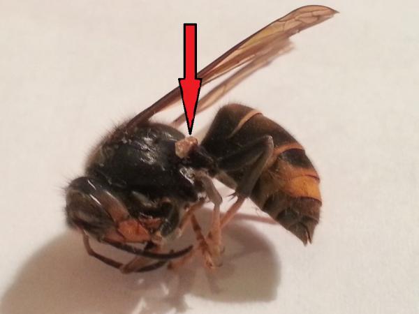 Poche de venin d'un dard d'abeille qui a certainement tué le frelon asiatique