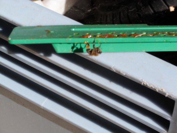 Avec l'abeille, rien ne se perd, elles viennent récupérer la propolis sur une entrée