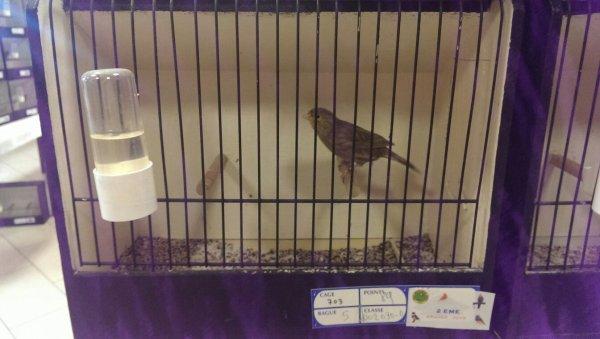 Premier concours avec 4 oiseaux et premier champion !