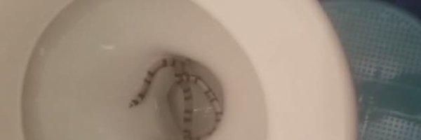 Une habitante de Rilleux-la-pape à retrouvé un serpent dans le cuvette de ses toilettes !