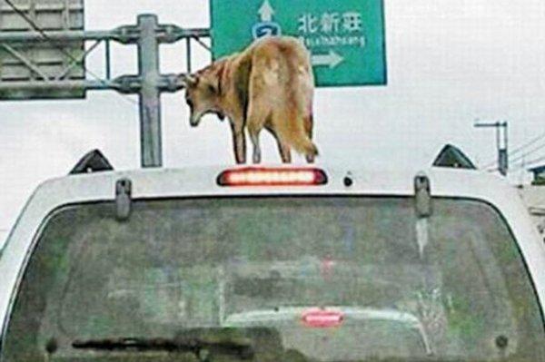 #InfoSkyrock en chine un homme condamné pour avoir roulé avec son chien sur le toit de sa voiture !