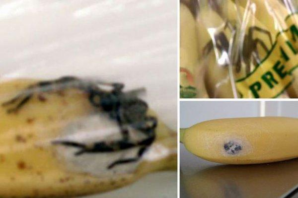 Une araignée mortelle retrouvée dans des bananes !