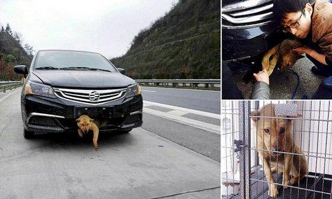 Un chien reste coincé 400km dans le pare-chocs !