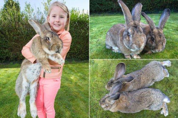 Le plus gros lapin du monde bientôt détrôné par son fils !