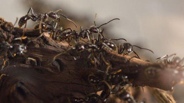 Un village envahi par des fourmis !
