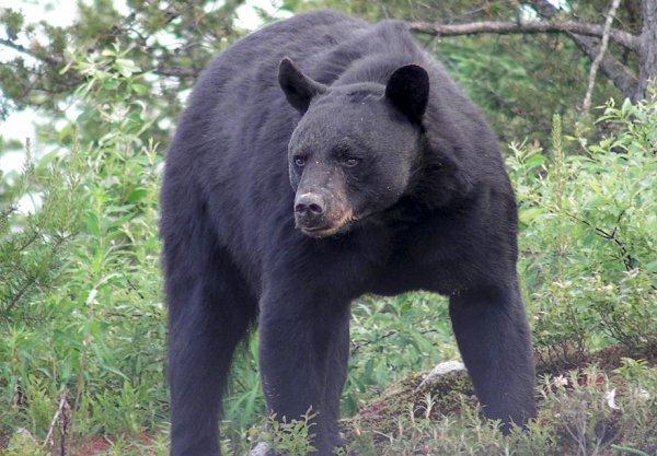 Elle survit après avoir été attaquée et enterrée par un ours !