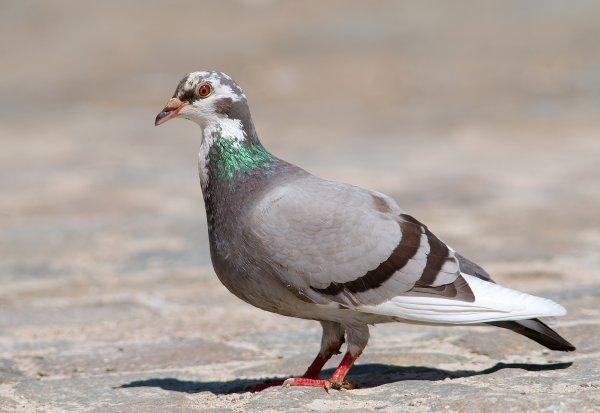 Un pigeon suspecté d'être un espion arrêté par la police !