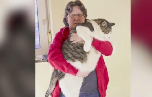 Elvis, le nouveau plus gros chat du monde, pèse plus de 17 kg !