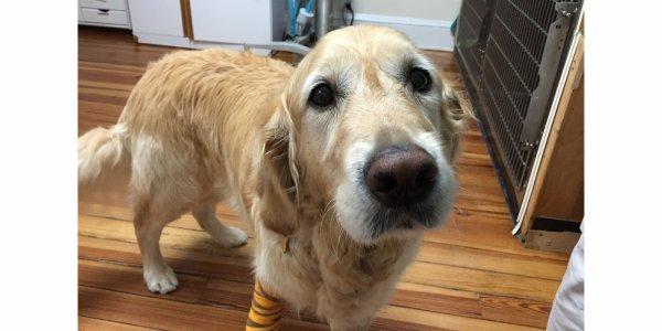 Figo, le chien qui a sauvé sa maitresse aveugle !