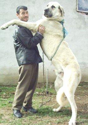 Le plus grand chien au monde, qui peut tuer un ours: On en parlait dans la Radio Libre de l'été..le chien de la race kangal