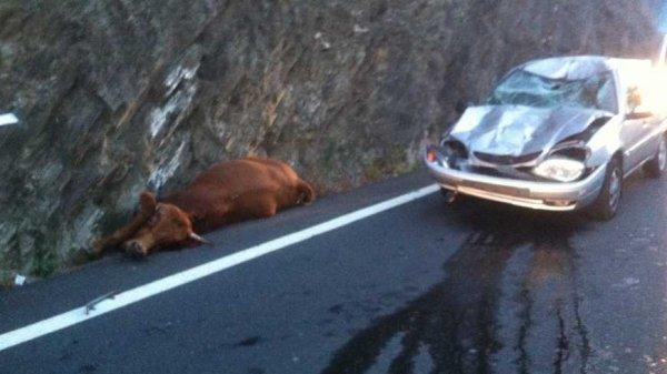 Une vache sauvage termine sa course sur le capot d'une voiture !