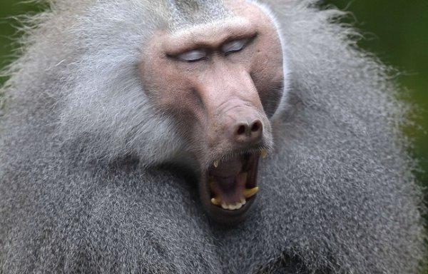 Quand une attaque de babouins interrompt la matinale d'une Radio Libre !