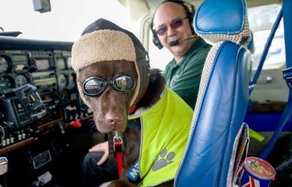 Des chiens vont être formés pour piloter des avions !