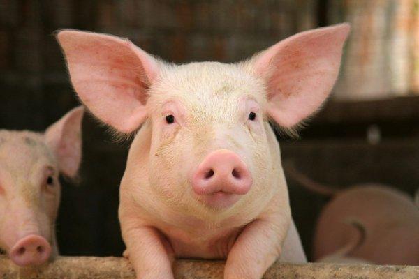 Un cochon né avec des testicules à la place des yeux !