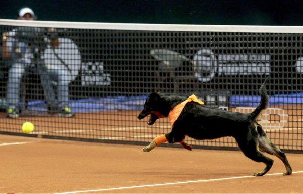 VIDEO - À l'Open du Brésil, les ramasseurs de balles remplacés par des chiens !