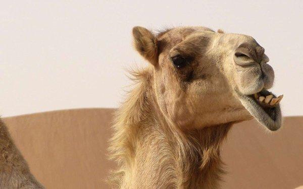 Un ado mordu et piétiné par un chameau sur le chemin de l'école !