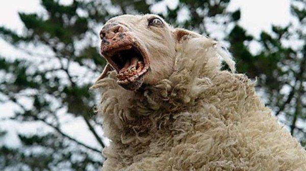 Des moutons accros au cannabis sèment la terreur !