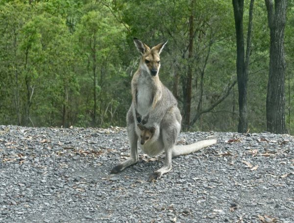 Un kangourou sème la pagaille sur les rails du Transilien !