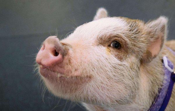 Un cochon sans maître sème la zizanie dans les rues d'Alès !