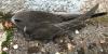 Le Martinet noir